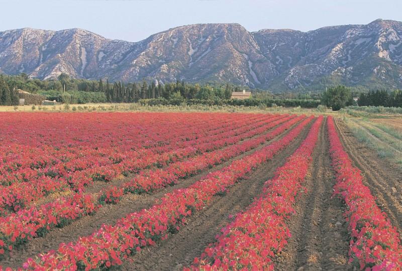 2177-st-remy-fleurs-rouges-243