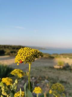 fleur_coccinelle.jpg